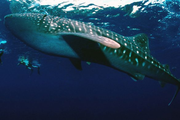 Return of the Giants: Whale Sharks in Donsol