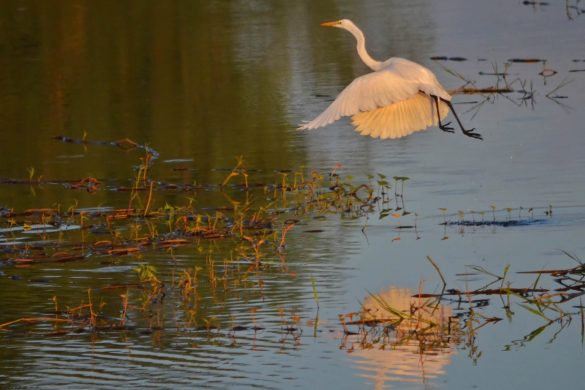 CANDABA - Egret Flying by Gregg Yan